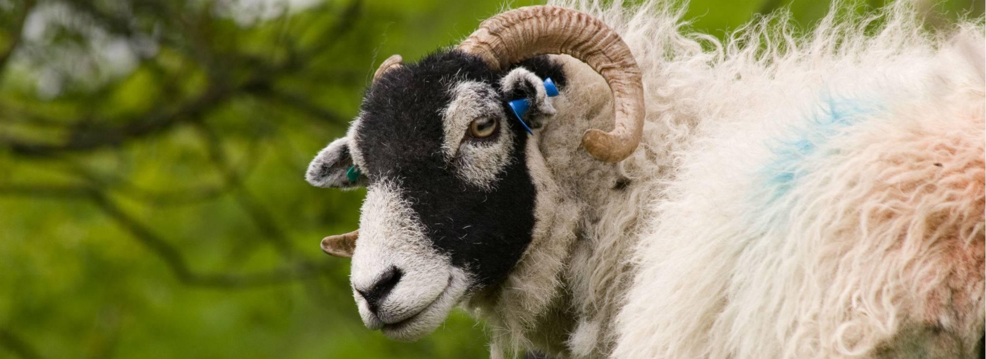 Sheep Theft blog post