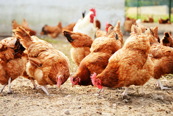 Avian Flu Insurance blog post